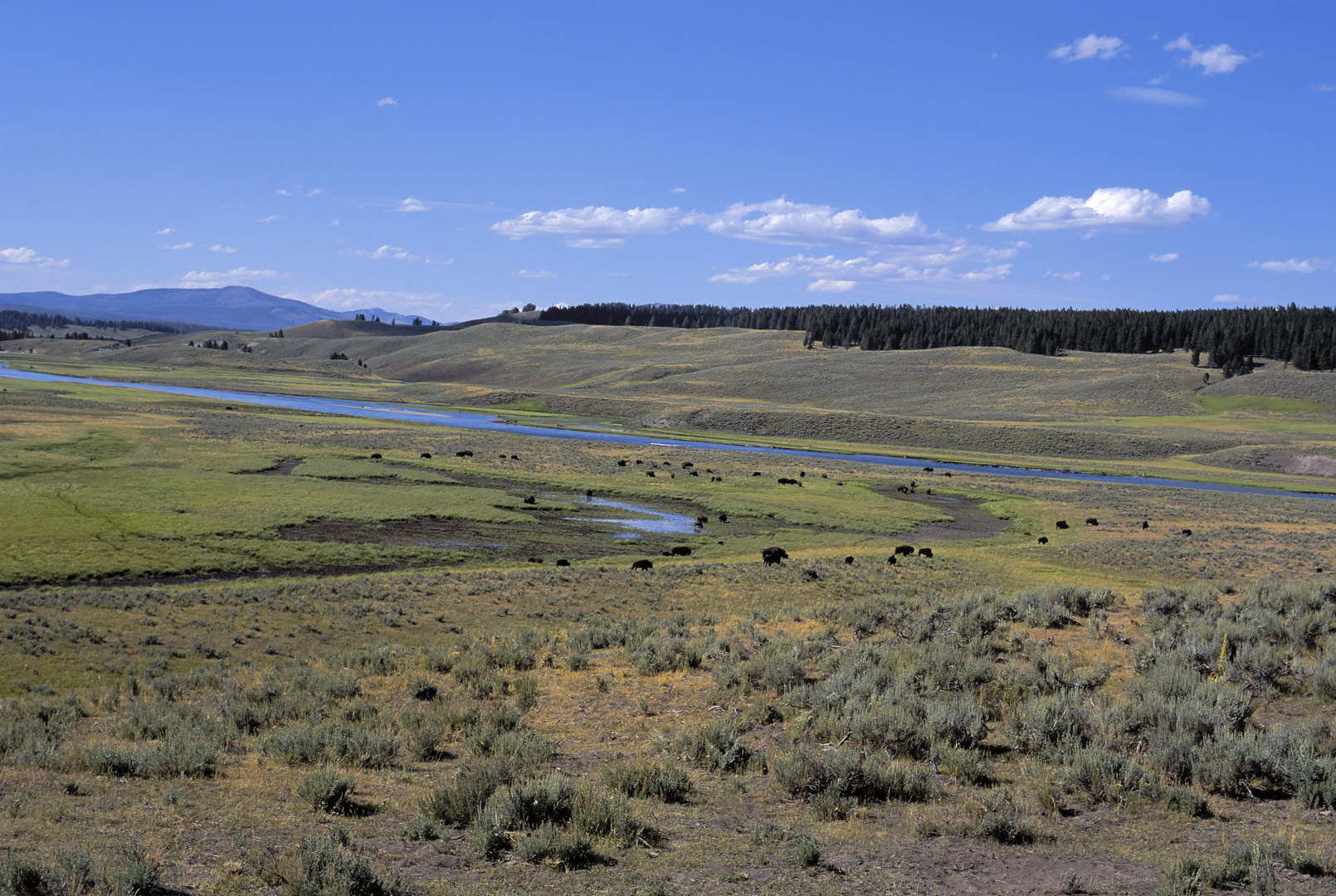 Bison on the high plains of Yellowstone National Park.