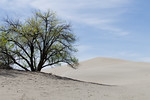 Tree and Bruneau Dune